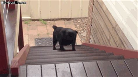 pug stairs looped walking up stairs hilariousgifs