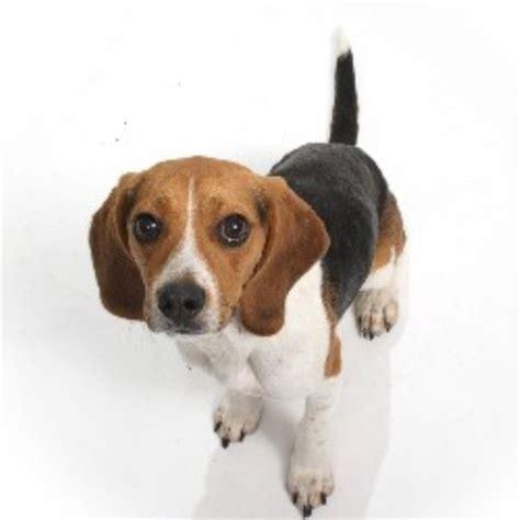 beagle puppies for sale in colorado home grown pocket beagles beagle breeder in denver colorado
