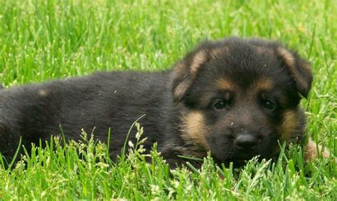 german shepherd puppies for sale in wi german shepherd puppies for sale in wisconsin photo