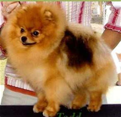show pomeranian pet vs show pomeranians the major differences