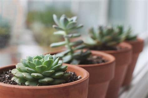 Stem Uno 12cm curare piante grasse piante grasse le piante grasse da
