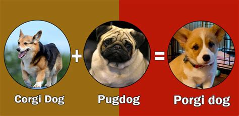 what is the expectancy of a pug top 10 cross breeds designer of pug by dogmal