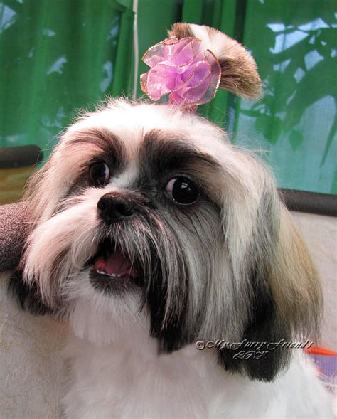 how to cut a shih tzu beard pet grooming the good the bad the furry scissoring a