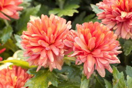 november flowers november birth flower chrysanthemums jblooms