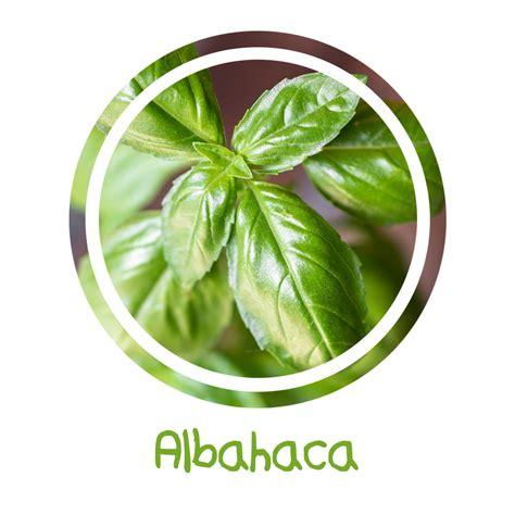albahaca cocina albahaca cilantro pero no tanto