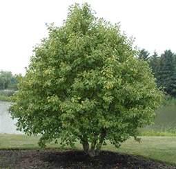 trees planet alnus incana grey alder