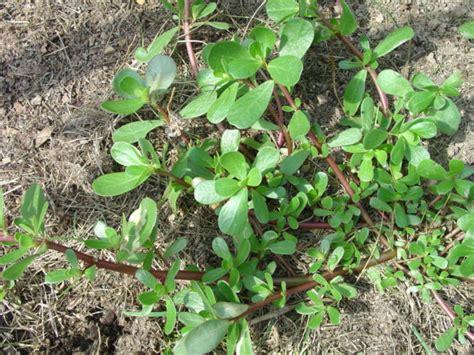 Weeds Backyard by Edible Weeds Ceeds