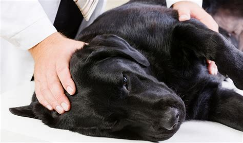 dogs and seizures epileptic seizures in dogs symptoms treatments and studies