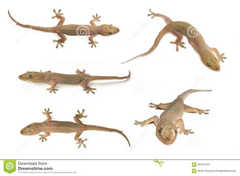 house lizard house gecko or half toed gecko or house lizard stock photo image 59441124