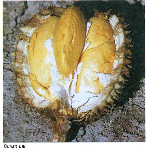 Jual Bibit Buah Lai bibit durian cv mutiaratani agrisarana