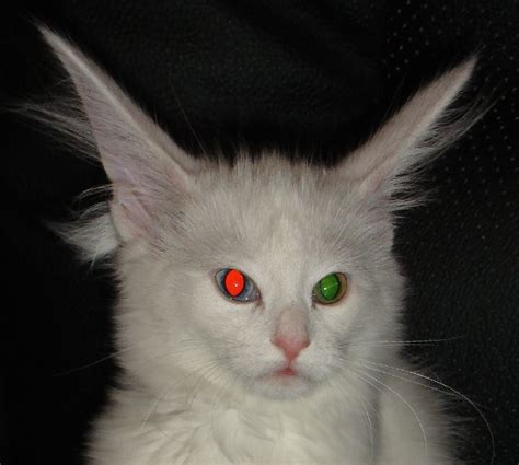 white cat with odd eyes odd eyed cat blue eyed cat breeds
