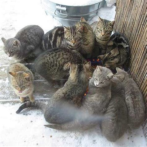 how to a feral how to handle a feral cat organizations taking steps to deal with county feral cat