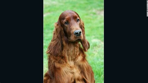 irish setter dies dog show canine competitor poisoned at crufts dog show cnn com