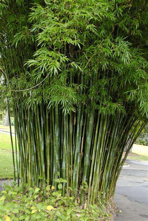 bambusa textilis var gracilis   botanic