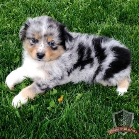how much to feed australian shepherd puppy how much should i be feeding my aussie puppy wiring diagrams wiring diagrams