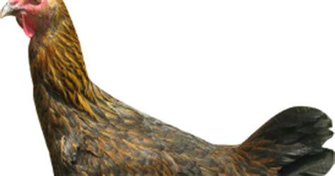 Bibit Gurami Di Lung cara merawat ayam pelung ayam pelung betina