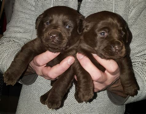 labrador dogs for sale chocolate labrador puppies for sale ayr ayrshire