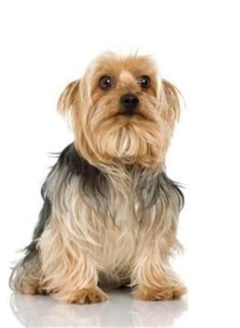 yorkie con chihuahua un cachorro de yorkie malt 233 s perrospedia