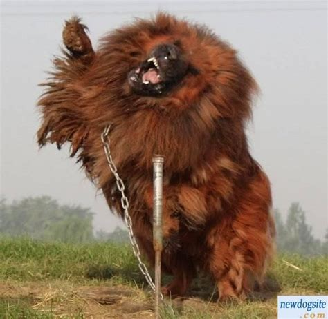 tibetan mastiff puppy world s most expensive 1 6 million for tibetan mastiff n