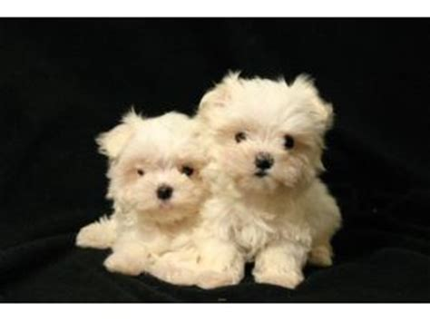 maltese puppies for sale in iowa maltese puppies in iowa