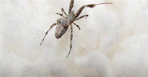 Garden Spider Definition Garden Spider Gestation Period 28 Images Bugblog