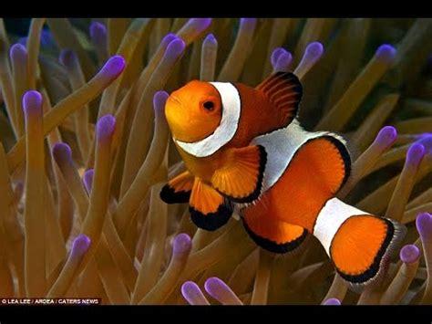 la chachipedia el pez payaso apexwallpaperscom simbiosis pez payaso y anemona youtube