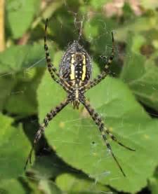 Garden Spider Colorado Argiope Trifasciata Banded Garden Spider Colorado