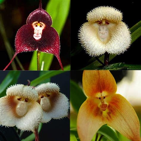 Affen Orchidee Kaufen by New 10pcs Baby Orchid Perennial Flower Seeds