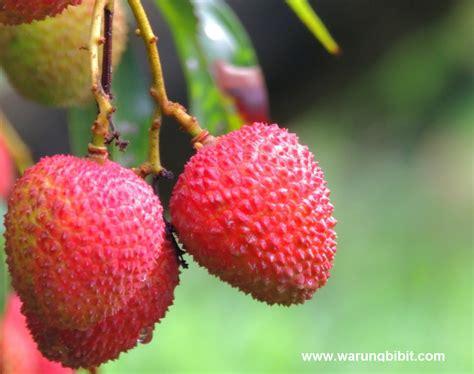Bibit Pohon Buah Leci tanaman buah leci membahana jual bibit buah leci