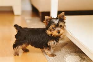 yorkie haircuts for females yorkie haircuts www imgkid the image kid has it