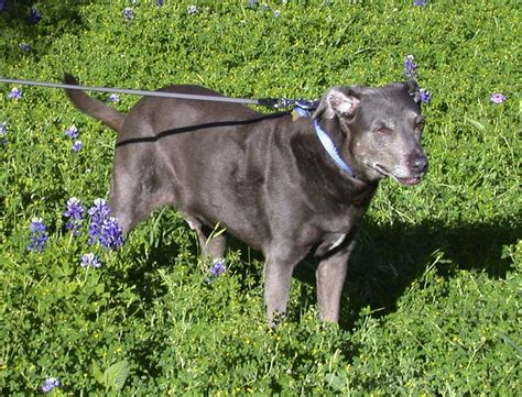 blue lacy blue lacy breed standards