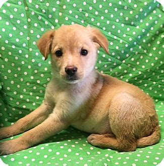 golden retriever puppies for adoption los angeles los angeles ca golden retriever labrador retriever mix meet a puppy for