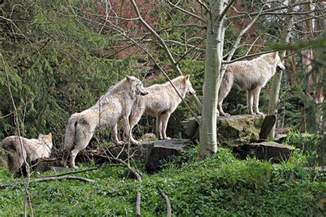 gray wolf woodland park zoo seattle wa