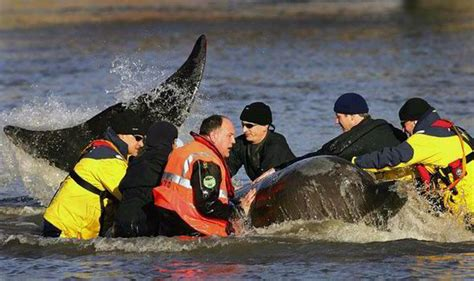 thames river ks2 dead whale dragged ashore from thames estuary to be