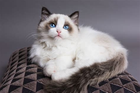 ragdoll breed breed of cat you should adopt based on your zodiac sign