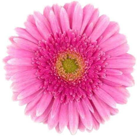 imagenes de gerberas blancas venda de flores g 233 rberas em cinas sp ceasa flores em