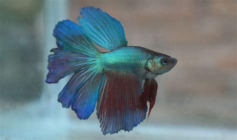 Ikan Cupang 27 cara berternak ikan cupang