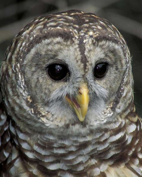 barred owl audubon field guide
