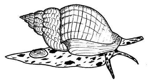 whelks buccinum