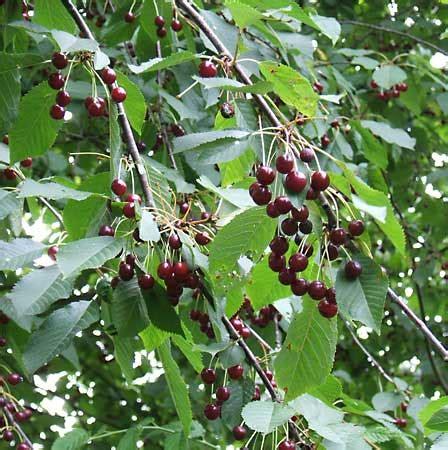 cherry tree genus prunus plant genus britannica