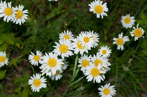 imagenes de flores margaritas imagenes margaritas dos colores 1440x900 flores pictures