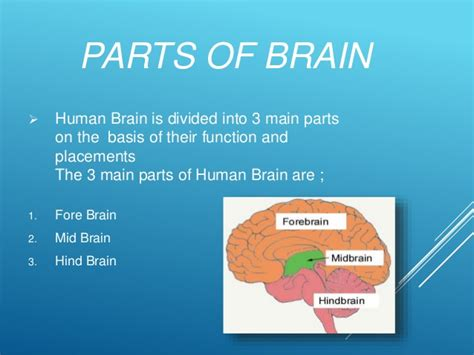 what are the two main sections of an html document the human brain its parts and functions
