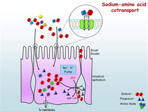 protein absorption digestion and absorption of proteins