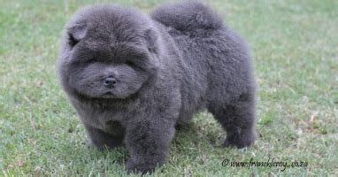 blue chow chow puppies blue chow chow puppies and smooth