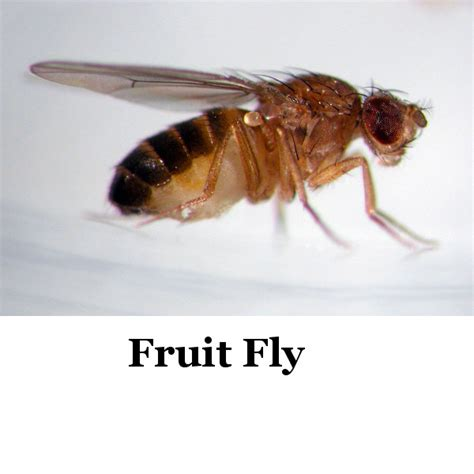 why are fruit flies in my bathroom why are there small flies in my bedroom www indiepedia org