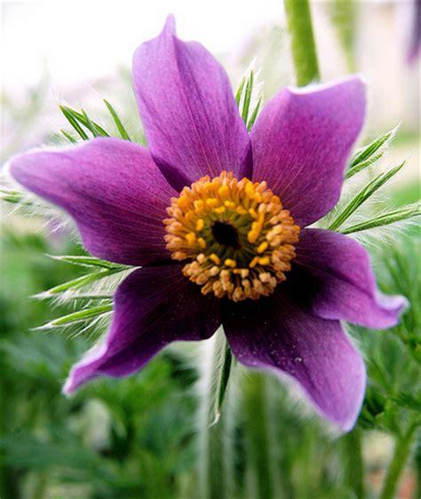 south dakota pasque flower pictures american pasque flowers