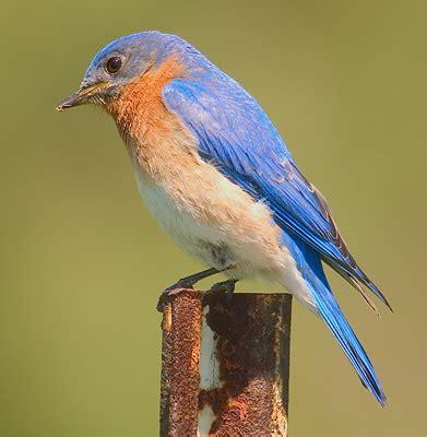 about bluebirds common q as at songbirdgarden com
