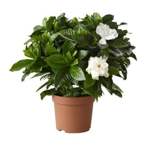 gardenia in vaso gardenia informazioni e foto di piante