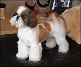 pictures of shih tzu haircuts male shih tzu haircuts styles pictures