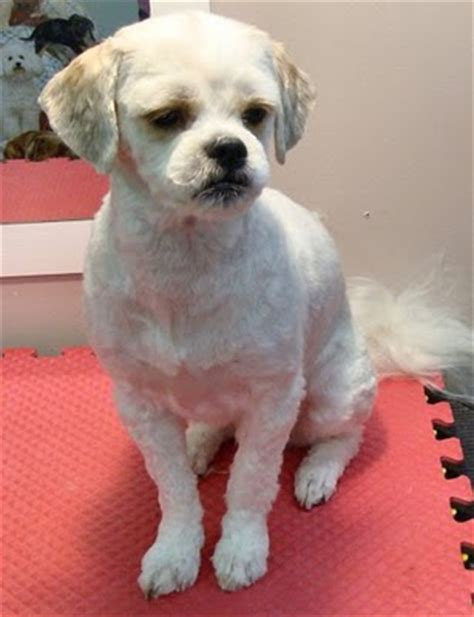 bald shih tzu shear perfection shih tzus the spunky lovable breed